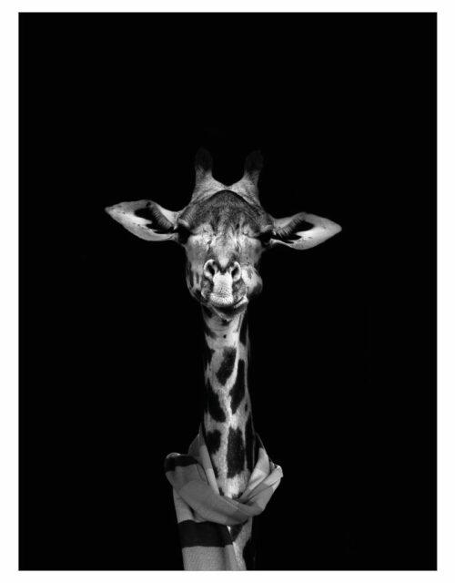 timhenning-giraffe-30x40cm